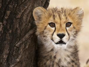 Cheetah (Acinonyx Jubatus) Cub, Masai Mara, Kenya, East Africa, Africa by Sergio Pitamitz