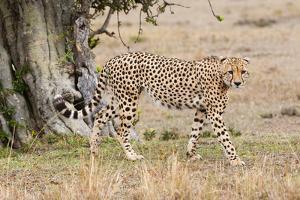 Cheetah (Acinonyx Jubatus), Masai Mara, Kenya, East Africa, Africa by Sergio Pitamitz