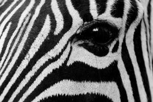 Close Up of a Burchell's Zebra Eye, Equus Burchelli by Sergio Pitamitz