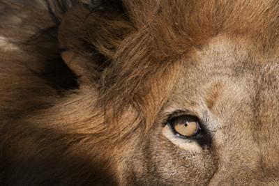 Close Up of a Male Lion's Eye, Panthera Leo