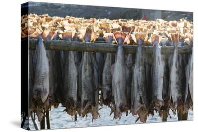 Cod Fish Drying, Hamnoy, Lofoten Islands, Arctic, Norway, Scandinavia
