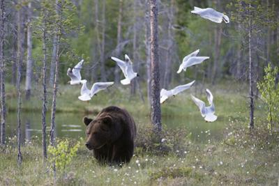 European Brown Bear, Ursus Arctos Arctos, Walking Followed by Black-Headed Gulls, Larus Ridibundus