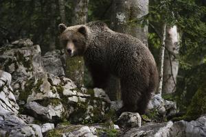 European brown bear (Ursus arctos), Slovenia, Europe by Sergio Pitamitz
