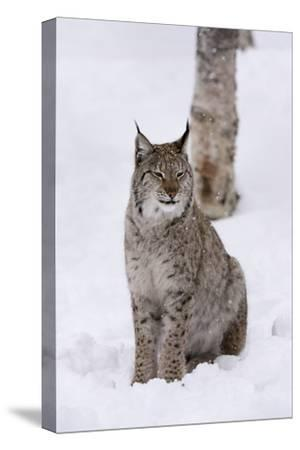 European Lynx (Lynx Lynx), Polar Park, Norway, Troms, Norway, Scandinavia