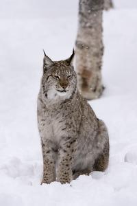 European Lynx (Lynx Lynx), Polar Park, Norway, Troms, Norway, Scandinavia by Sergio Pitamitz