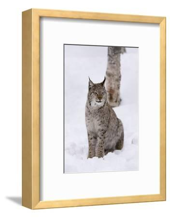 European Lynx (Lynx Lynx), Polar Park, Norway, Troms, Norway, Scandinavia