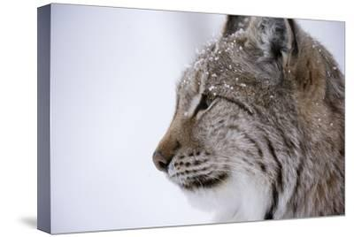 European Lynx (Lynx Lynx), Polar Park, Troms, Norway, Scandinavia