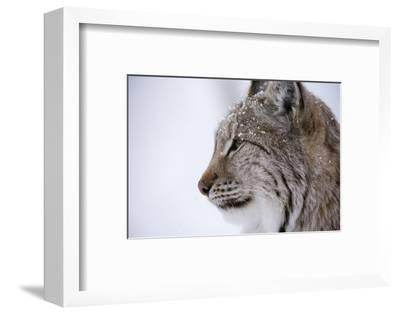 European Lynx (Lynx Lynx), Polar Park, Troms, Norway, Scandinavia
