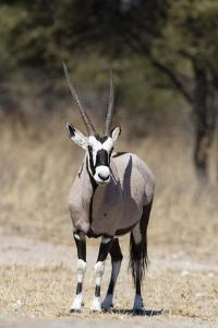Gemsbok (Oryx gazella), Kalahari, Botswana, Africa by Sergio Pitamitz