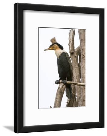 Great Cormorant (Phalocrocorax Carbo), Lake Naivasha, Kenya, East Africa, Africa