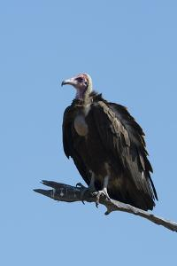 Hooded vulture (Necrosyrtes monachus), Khwai Conservation Area, Okavango Delta, Botswana, Africa by Sergio Pitamitz