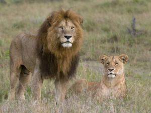 Lion Pair (Panthera Leo), Masai Mara National Reserve, Kenya, East Africa, Africa by Sergio Pitamitz