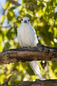 Portrait of a Common White, or Fairy Tern, Gygis Alba, Perching on a Tree Branch by Sergio Pitamitz