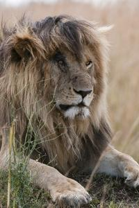 Portrait of a Resting Male Lion, Panthera Leo, known in the Masai Mara As, Scarface by Sergio Pitamitz
