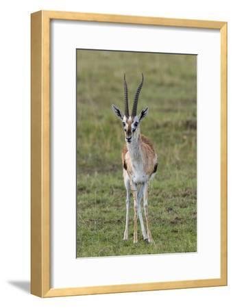 Portrait of a Thomson's Gazelle, Gazella Thomsoni