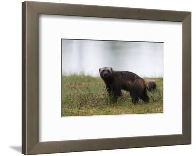 Portrait of a Wolverine, Gulo Gulo, Looking at the Camera