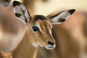 Portrait of an Impala Calf, Aepyceros Melampus by Sergio Pitamitz