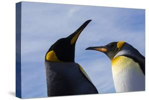 Portrait of two King penguins, Aptenodytes patagonica. by Sergio Pitamitz
