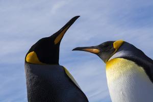 Portrait of two King penguins, Aptenodytes patagonica. by Sergio Pitamitz
