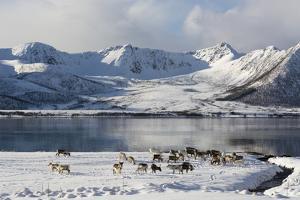 Reindeer (Rangifer Tarandus), Near Fornes, Vesteralen Islands, Arctic, Norway, Scandinavia by Sergio Pitamitz