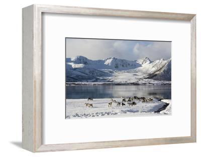 Reindeer (Rangifer Tarandus), Near Fornes, Vesteralen Islands, Arctic, Norway, Scandinavia