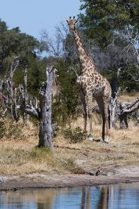 Southern Giraffe, Khwai Concession, Okavango Delta, Botswana by Sergio Pitamitz