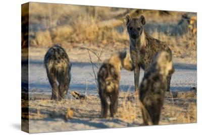 Spotted Hyaena Cubs Leaving the Den