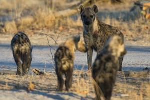 Spotted Hyaena Cubs Leaving the Den by Sergio Pitamitz