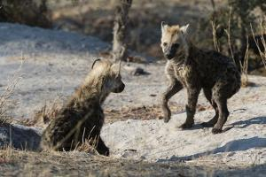 Spotted Hyena Cubs by Sergio Pitamitz