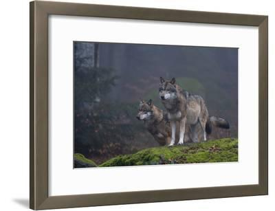 Two Gray Wolves, Canis Lupus, on a Mossy Boulder in a Foggy Forest