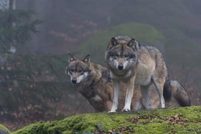 Two Gray Wolves, Canis Lupus, on a Mossy Boulder in a Foggy Forest by Sergio Pitamitz
