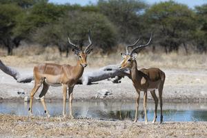 Two male impalas (Aepyceros melampus) at waterhole, Botswana, Africa by Sergio Pitamitz