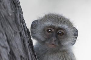 Vervet monkey (Chlorocebus pygerythrus), Moremi Game Reserve, Okavango Delta, Botswana, Africa by Sergio Pitamitz