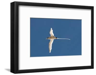 White-Tailed Tropicbird (Phaethon Lepturus), Fregate Island, Seychelles, Indian Ocean, Africa