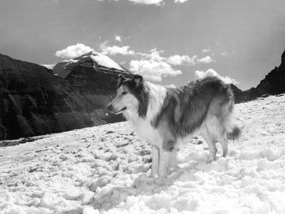 Serie Televisee Lassie 1954-74--Photo
