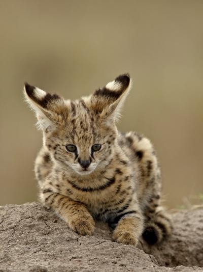 Serval (Felis Serval) Cub on Termite Mound, Masai Mara National Reserve, Kenya, East Africa-James Hager-Photographic Print