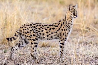 Serval Hunting-Jeffrey C. Sink-Photographic Print