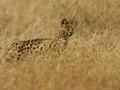Serval (Leptailurus Serval) on Alert, Hunts in a Field-Roy Toft-Photographic Print