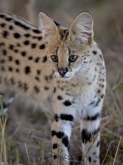 Serval, Masai Mara National Reserve, Kenya, East Africa, Africa-James Hager-Photographic Print