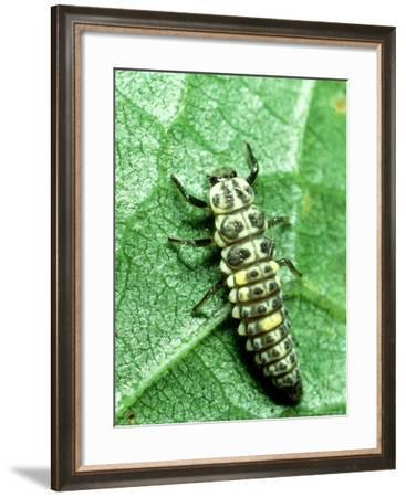 Seven Spot Ladybird, Larva Infamous Aphid Feeder-Harold Taylor-Framed Photographic Print