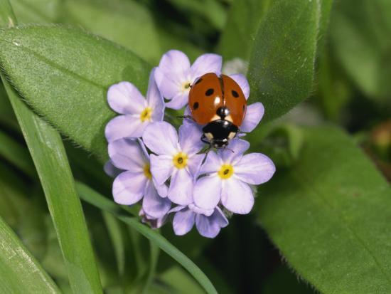 Seven Spot Ladybird on Forget-Me-Nots-Michael Black-Photographic Print