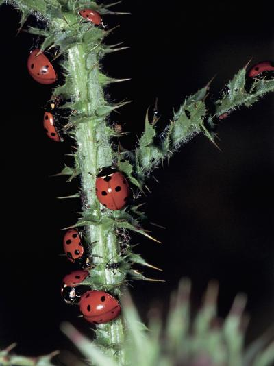 Seven Spot Ladybirds on a Stem (Coccinella Septempunctata)-Christian Ricci-Photographic Print