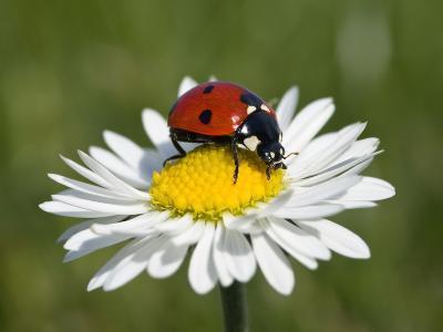 Seven-Spotted Ladybird (Coccinella Septempunctata) on Common Daisy (Bellis Perennis)-Konrad Wothe-Photographic Print
