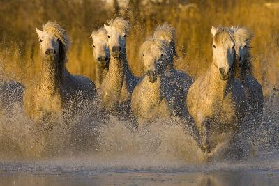 Seven White Camargue Horses Running in Water, Provence, France-Jaynes Gallery-Photographic Print