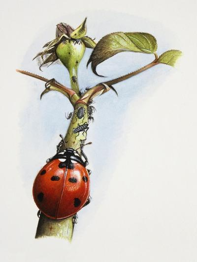 Sevenspotted Lady Beetle (Coccinella Septempunctata) on Branch in Search of Aphids or Plant Lice--Giclee Print