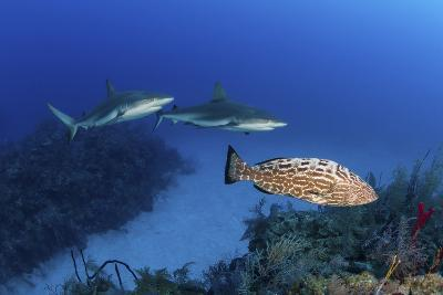 Several Caribbean Reef Sharks and a Goliath Grouper-Stocktrek Images-Photographic Print