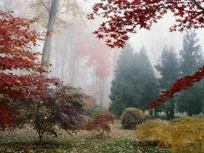 Several Japanese Maple Trees in the Fall-Darlyne A^ Murawski-Photographic Print