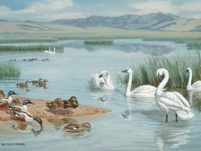 Several Species of Ducks, Coots, and Swans Share a Sanctuary's Lake-Walter Weber-Photographic Print