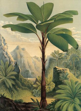 Seychelles Stilt Palm - Flowers of the Greenhouses and Gardens of Europe by Severeyns Stroobant De Pannemaker