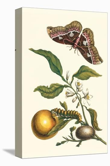 Seville Orange with a Golden Rothschild Butterfly-Maria Sibylla Merian-Stretched Canvas Print